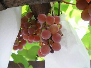 園芸で育てたブドウ
