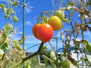 デイケア・園芸のプログラムで育てたトマト