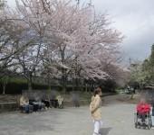 ソメイヨシノのお花見