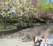 八重桜のお花見