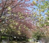 満開の八重桜!!